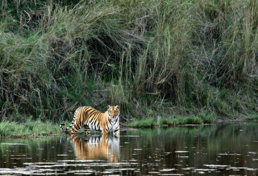 Royal Bangal tiger at Bardia National Park